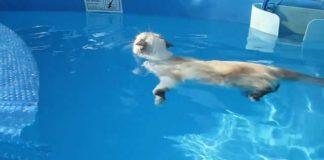 Gatto Sasha nuota in piscina