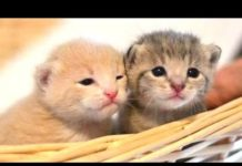 Teneri gattini