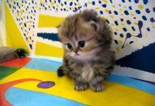 Gattino persiano muove i primi passi