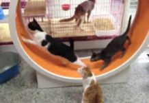 Ruota per gatti