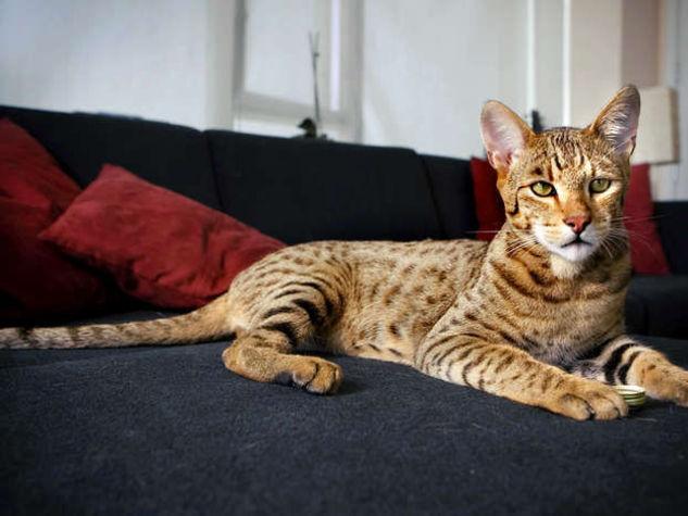 Il-felino-Ashera-e-il-gatto-piu-costoso-del-mondo_o_su_horizontal_fixed