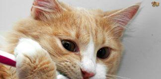 Igiene dentale gatto
