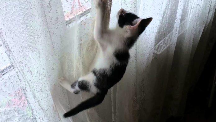 gatto sulle tende