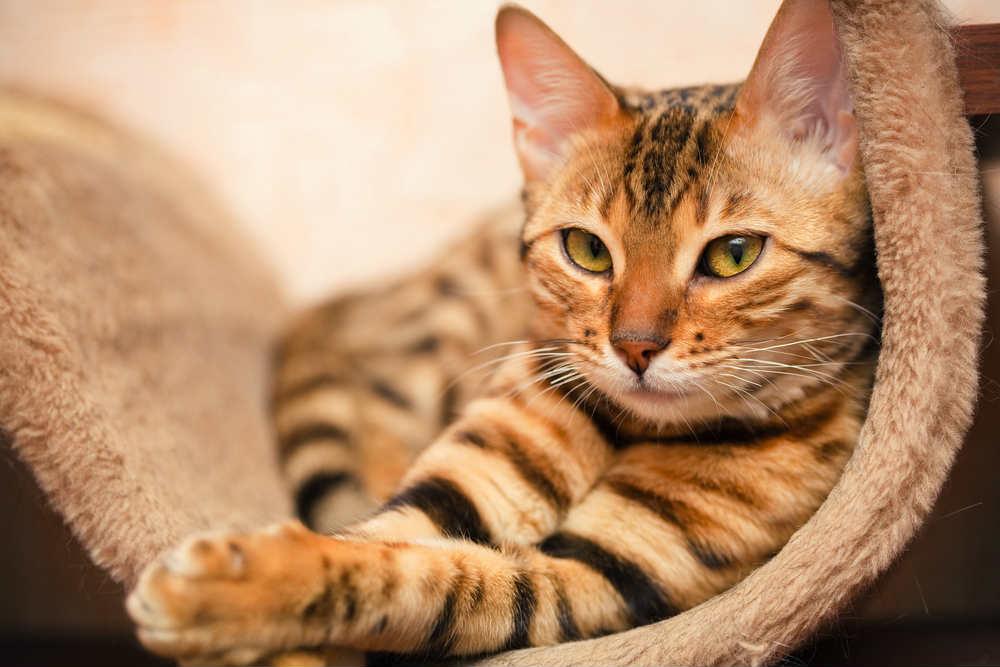 rimedi-naturali-pulci-gatti