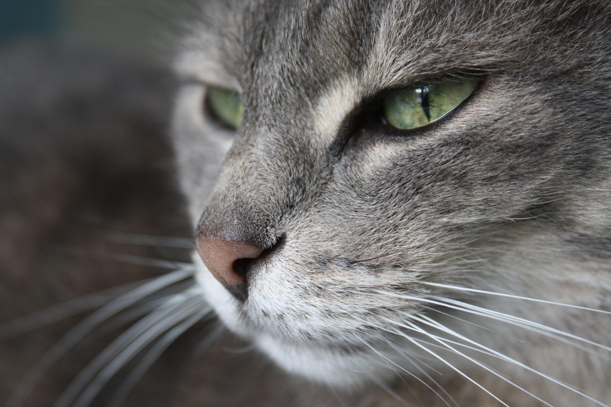 Il gatto europeo gattissimi for Gatti con occhi diversi