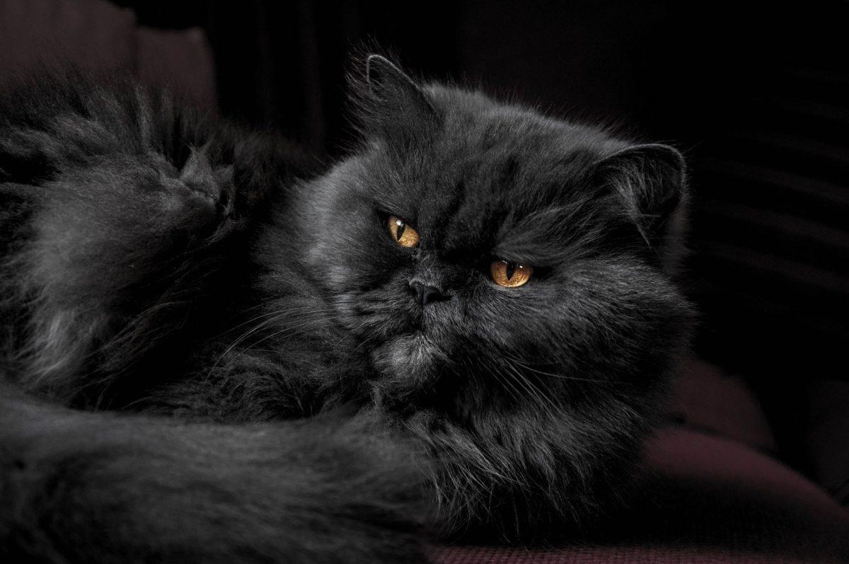 gatto persiano blu