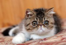 Gattino esotico