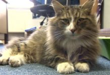 Il gatto Norvegese Clive