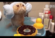 Gatto esotico fa il bagnetto