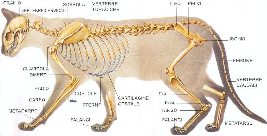 Scheletro del gatto