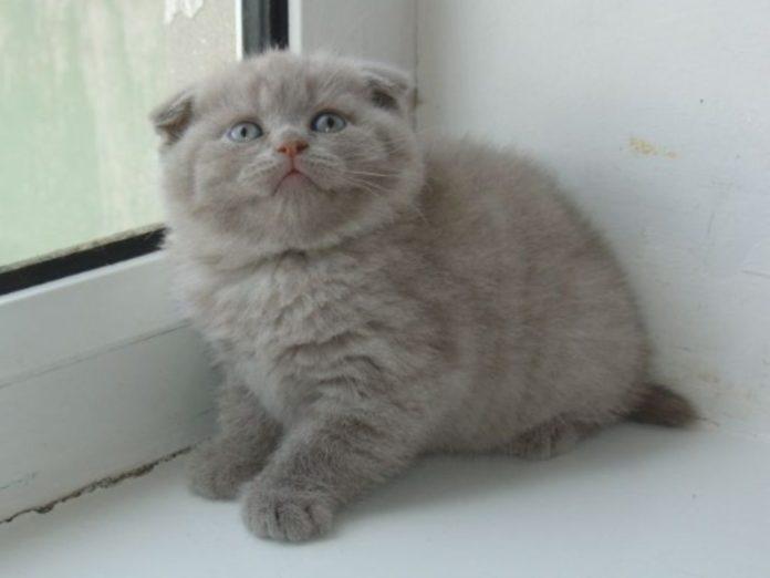 gatto orecchie basse
