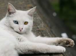 Gatto angora