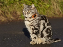 Gatto indossa un cracker GPS