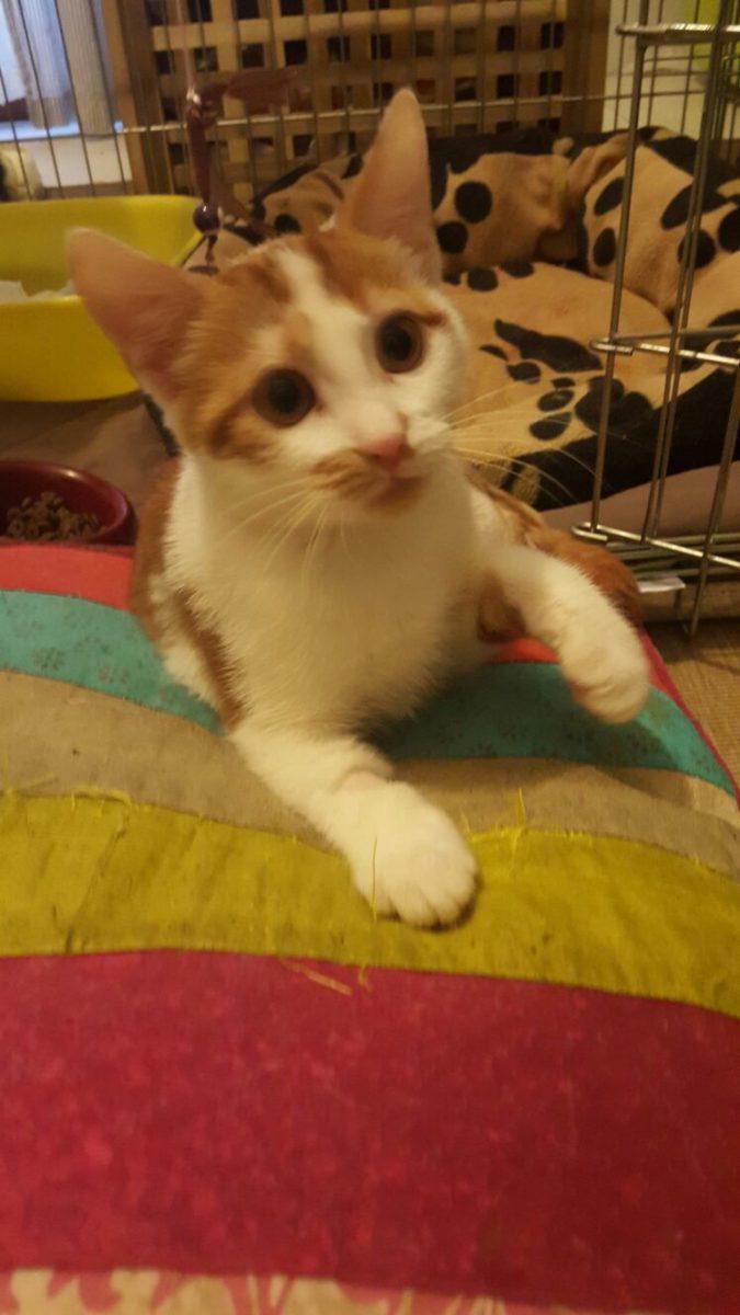 Vito gatto bionico