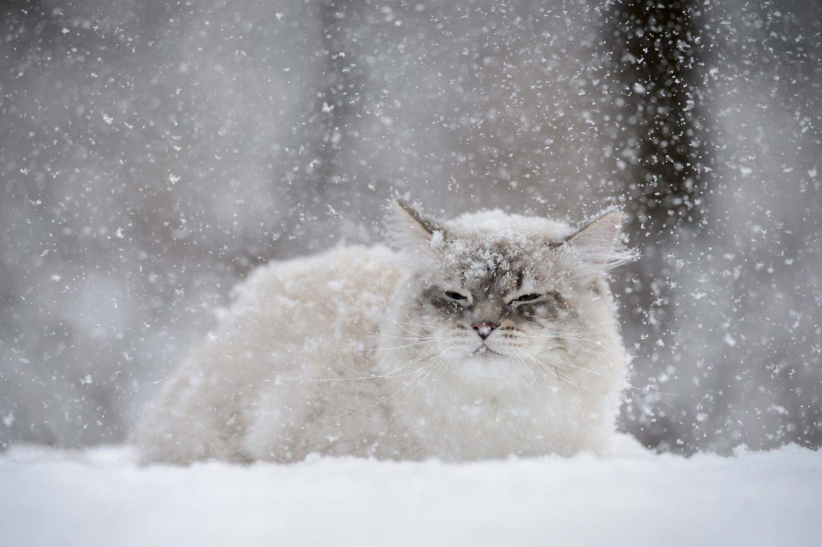 Il pelo del gatto Siberiano è idrorepellente