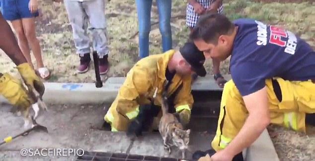 I Vigili del Fuoco di sacramento salvano otto gattini
