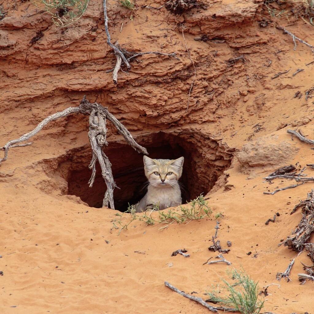 Gatto della sabbia