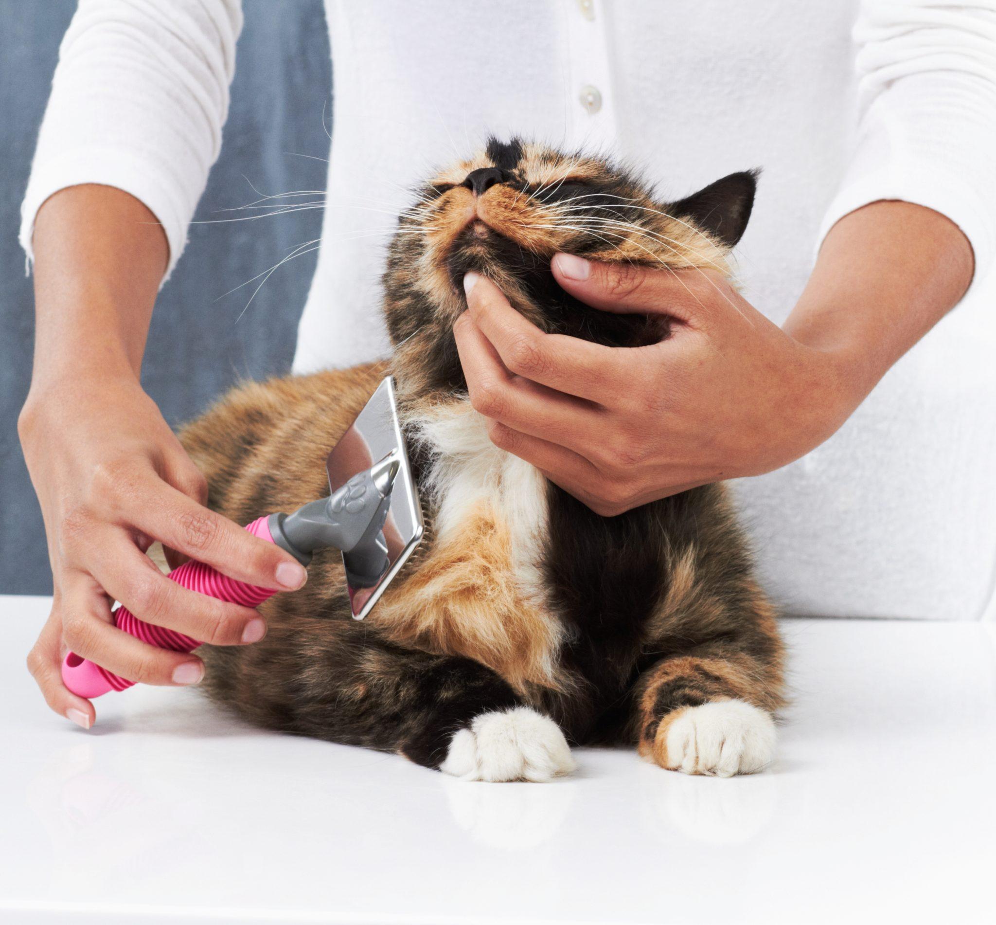 La cardatura del pelo del gatto