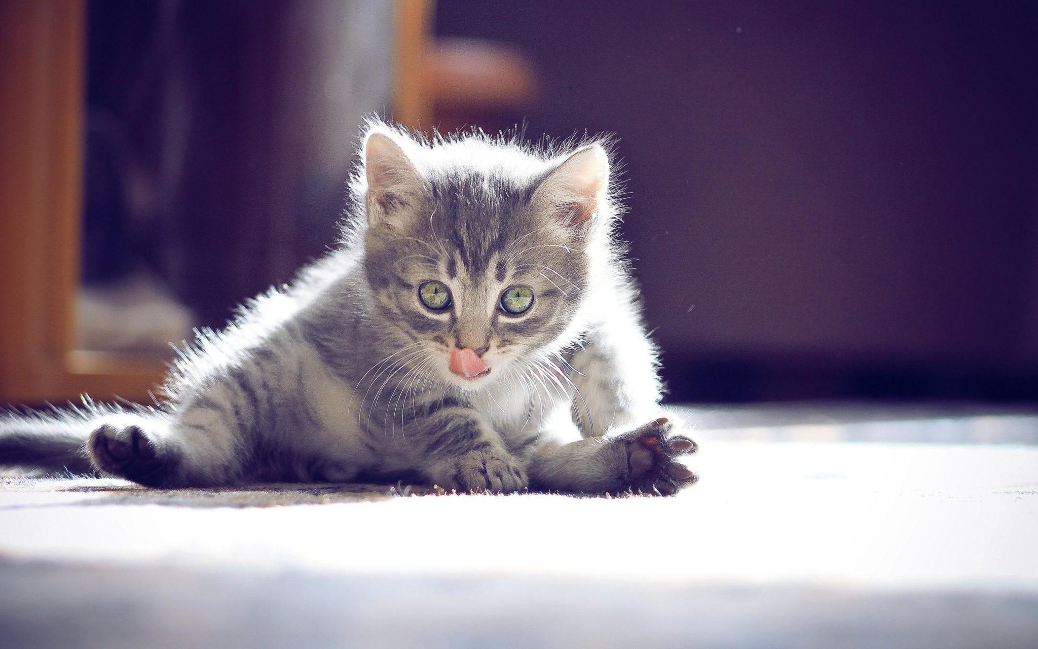Un gattino si dedica alla toeletta quotidiana del suo pelo
