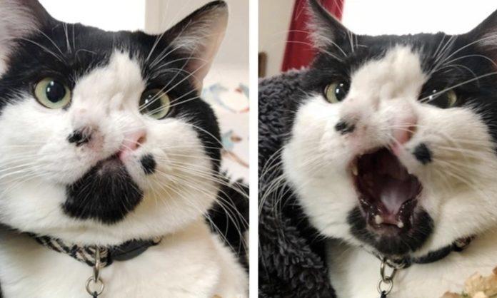 Memphis, il gatto con due nasi che ha rischiato l'eutanasia