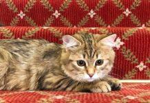 hotel di londra adotta gatto siberiano